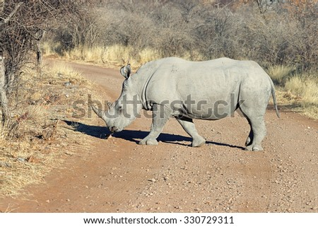 White rhinoceros (Ceratotherium simum) crossing the road in Ongava Game Reserve, Namibia