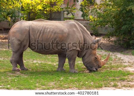 White rhinoceros (Ceratotherium simum) grazing in captivity - stock photo