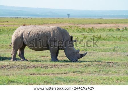 White rhinoceros ( Ceratotherium simum) in Lake Nakuru national park in Kenya - stock photo