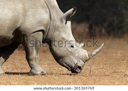 White Rhinoceros (Ceratotherium Simum) profile view closeup - Kruger National Park (South Africa) - stock photo