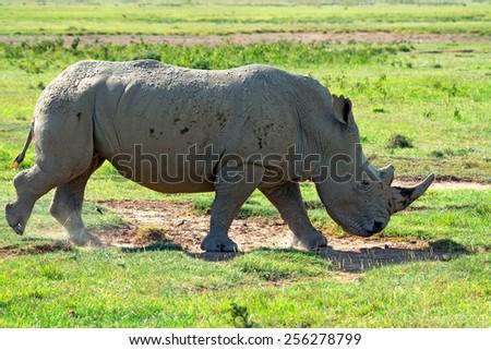 White rhinoceros ( Ceratotherium simum ) running in savannah - stock photo