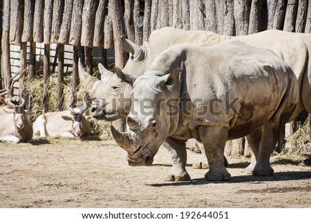 White rhinoceros (Ceratotherium simum simum) and Addax (Addax nasomaculatus) in a common enclosure. - stock photo