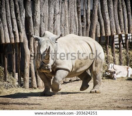 White rhinoceros (Ceratotherium simum simum) and Addax (Addax nasomaculatus) in a zoo. - stock photo