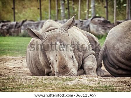 White rhinoceros (Ceratotherium simum simum). Animals scene. Critically endangered species. - stock photo