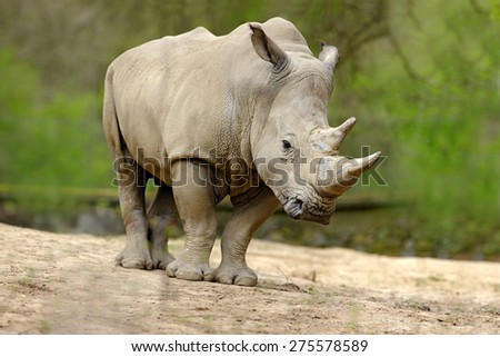 White rhinoceros, Ceratotherium simum, with big horn, Africa - stock photo