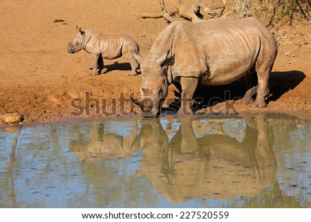 White rhinoceros (Ceratotherium simum) with calf drinking water, Mkuze game reserve, South Africa - stock photo