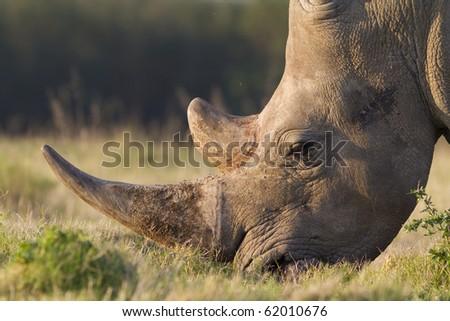 White rhinoceros close-up - stock photo