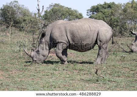 White rhinoceros, Diceros simus, single mammal,  South Africa, August 2016