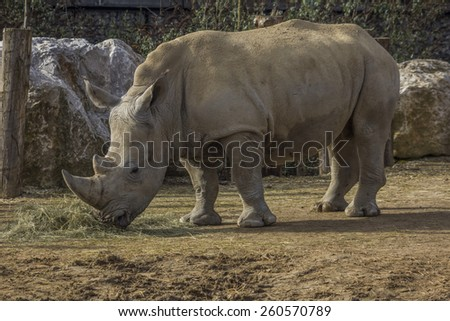 White Rhinoceros eating at Paris Zoological Park