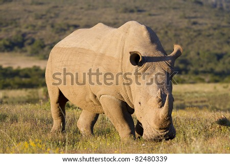White rhinoceros feeding - stock photo
