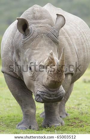 White rhinoceros front on - stock photo
