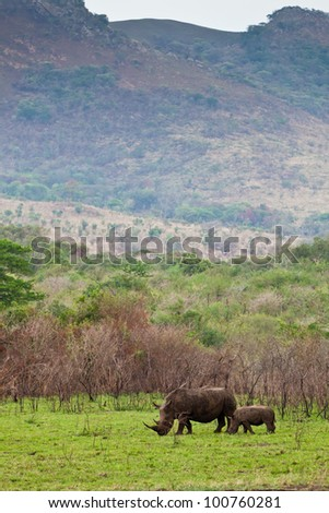 White rhinoceros grazing between the bushes - stock photo