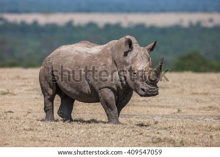 White rhinoceros grazing in the wild, Africa.