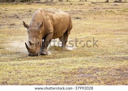 white rhinoceros grazing on plain in kenya africa - stock photo