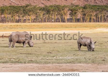 White rhinoceros in Kenya, Africa - stock photo