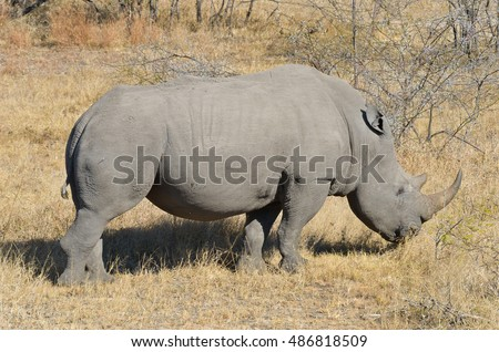 White rhinoceros in national park in South Africa, big five safari animals