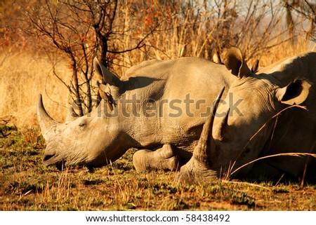 White Rhinoceros in South Africa, Pilanesberg - stock photo