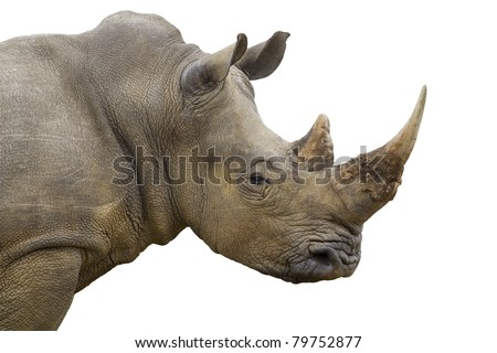 White rhinoceros isolated - stock photo