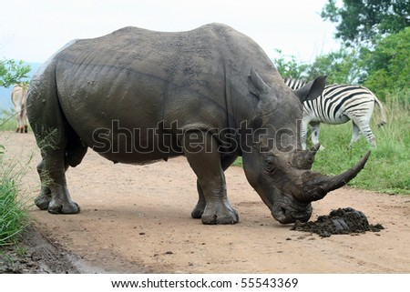 White rhinoceros male sniffing border post, South Africa - stock photo