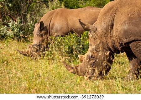 White rhinoceros Masai Mara Kenya Africa - stock photo