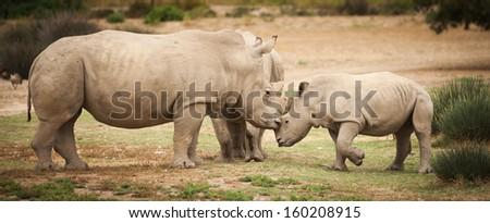 White rhinoceros mother kissing baby white  calf - stock photo