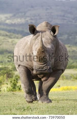 White Rhinoceros on the run - stock photo