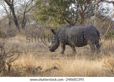 White rhinoceros or square-lipped rhinoceros (Ceratotherium simu - stock photo