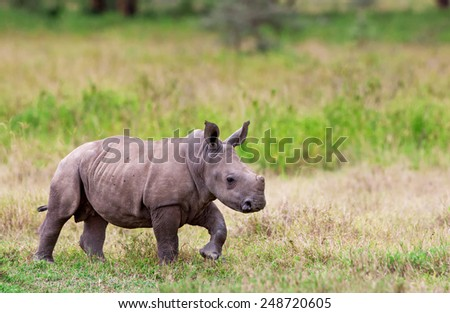 White rhinoceros or square-lipped rhinoceros (Ceratotherium simum) baby in Lake Nakuru National Park, Kenya. The white rhinoceros is one of the five species of rhinoceros that still exist. - stock photo