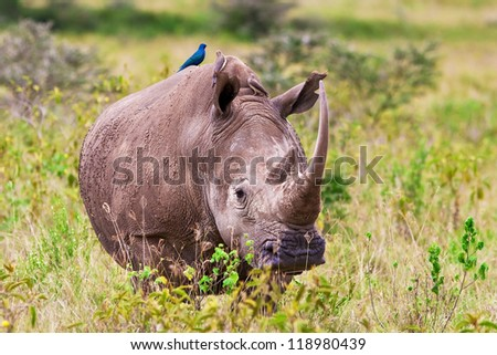 White rhinoceros or square-lipped rhinoceros (Ceratotherium simum) in Lake Nakuru National Park, Kenya. The white rhinoceros is one of the five species of rhinoceros that still exist. - stock photo