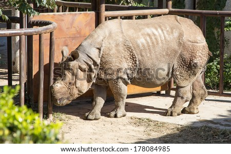 white rhinoceros or square-lipped rhinoceros (Ceratotherium simum) is the largest and most numerous species of rhinoceros that exists - stock photo