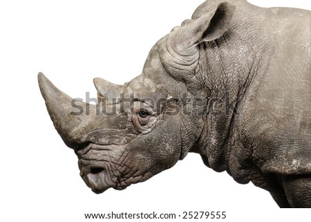 White Rhinoceros or Square-lipped rhinoceros - Ceratotherium simum ( +/- 10 years) in front of a white background - stock photo