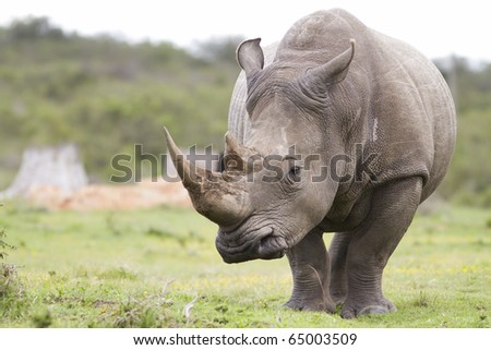 White rhinoceros pensive - stock photo