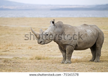 White Rhinoceros standing infront of the lake nakuru - stock photo