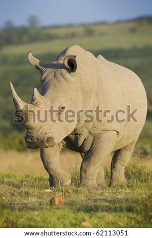 White rhinoceros walking - stock photo
