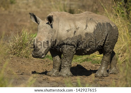 White rhinoceros young