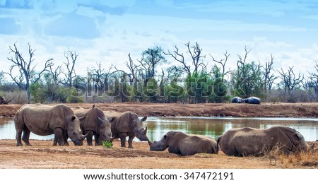 White rhinoceroses or square-lipped rhinoceroses (Ceratotherium simum) in Hlane Royal National Park, Swaziland. The white rhinoceros is one of the five species of rhinoceros that still exist. - stock photo