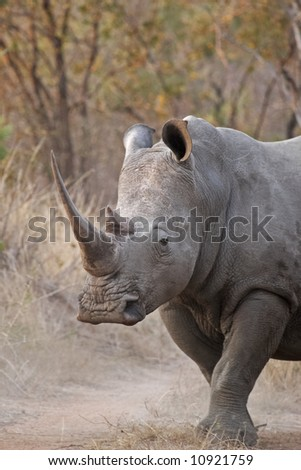 White rhinocerous, Ceratotherium simum in a bushveld setting. The rhino is walking down a road in a reserve. - stock photo