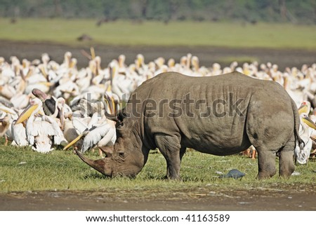 White rhinos grazing on the grasses in Lake Nakuru National Park, Kenya.