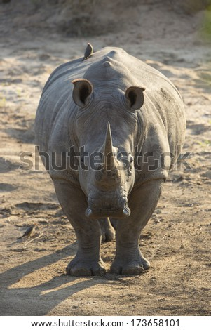 White Rhinos in South Africa - stock photo