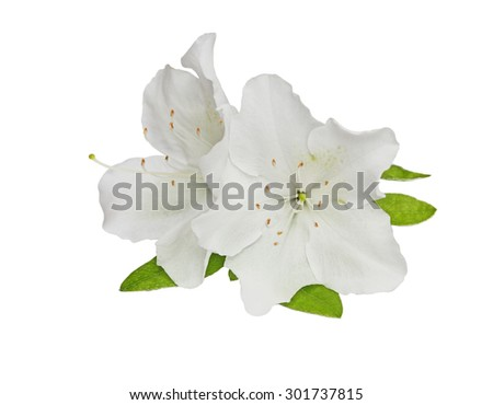 White Rhododendron obtusum flower isolated over background - stock photo