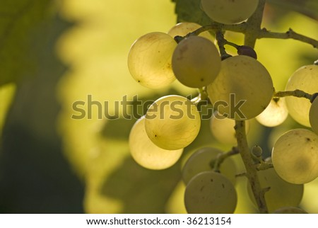 White Riesling Grapes in September - stock photo