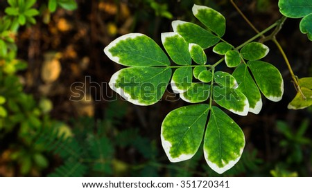 White rim leaves