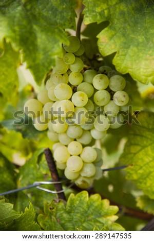 white ripe grape - stock photo