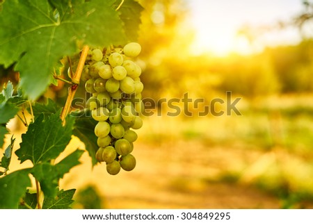 White ripe grape clusters - stock photo