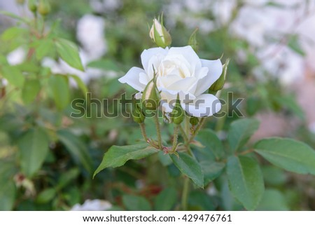 White ripe rose with buds on blurred leaves background - stock photo