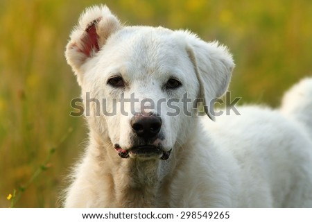 white romanian shepherd dog portrait, with one cut ear-that is the way for shepherds to recognize their dogs - stock photo