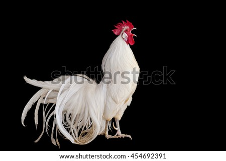 White Rooster chicken cockcrow on black background and clipping path - stock photo