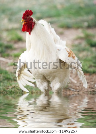 White rooster mad because somehow his feet got wet