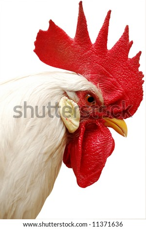 white rooster with red crest. isolated on white - stock photo