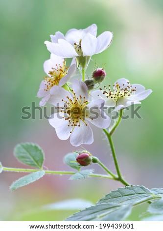 White rosa bloom  - stock photo